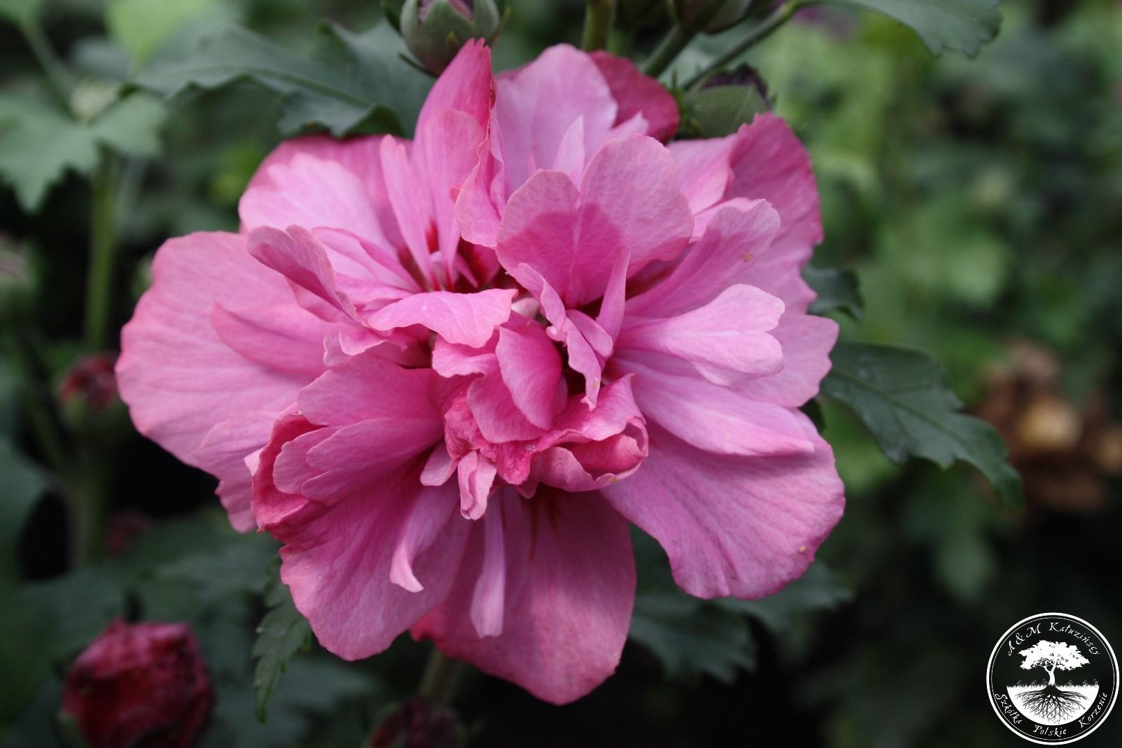 hibiscus syriacus 39 duc de brabant 39