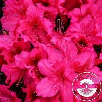 Rhododendron Japanese Azalea 'Georg Arends'