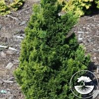 Chamaecyparis obtusa 'Rigid Dwarf'