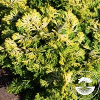 Chamaecyparis obtusa 'Uprising Gold'