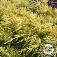 Juniperus x pfitzeriana 'Golden Saucer'