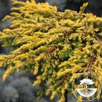 Juniperus communis 'Goldschatz' (Pa)