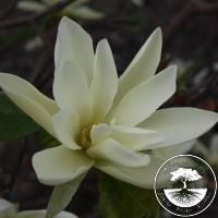 Magnolia 'Gold Star'