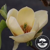 Magnolia 'Honey Tulip'ᴾᴮᴿ