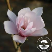 Magnolia 'Pink Beauty'