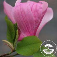 Magnolia 'Pink Parrot'