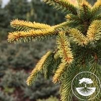 Picea abies 'Gold Drift' (Pa)