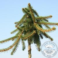 Picea abies 'Inversa' (Pa)