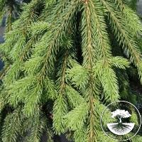 Picea abies 'Rothenhaus'