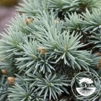 Picea pungens 'Blue Ball'