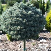 Picea pungens 'Blue Pearl' (Pa)