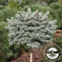 Picea pungens 'Glauca Compacta' (Pa)