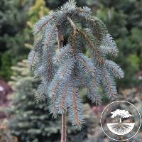 Picea pungens 'The Blues' (Pa)