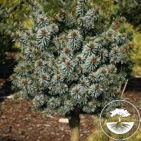 Picea sitchensis 'Silberzwerg' (Pa)