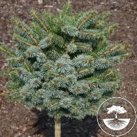 Picea sitchensis 'Tannhöf' (Pa)