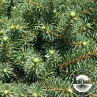 Picea abies 'Maryland Broom'