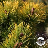 Pinus mugo 'Little Gold Star' ('Laarheide')