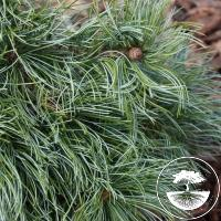Pinus parviflora 'Bonsai Blue'