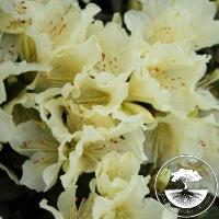 Rhododendron keiskei 'Patty Bee'