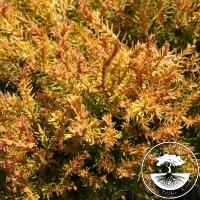 Thuja occidentalis 'Cloth of Gold' (Pa)