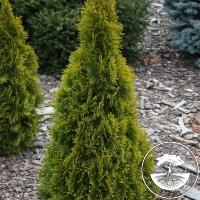 Thuja occidentalis 'Golden Smaragd' PBR